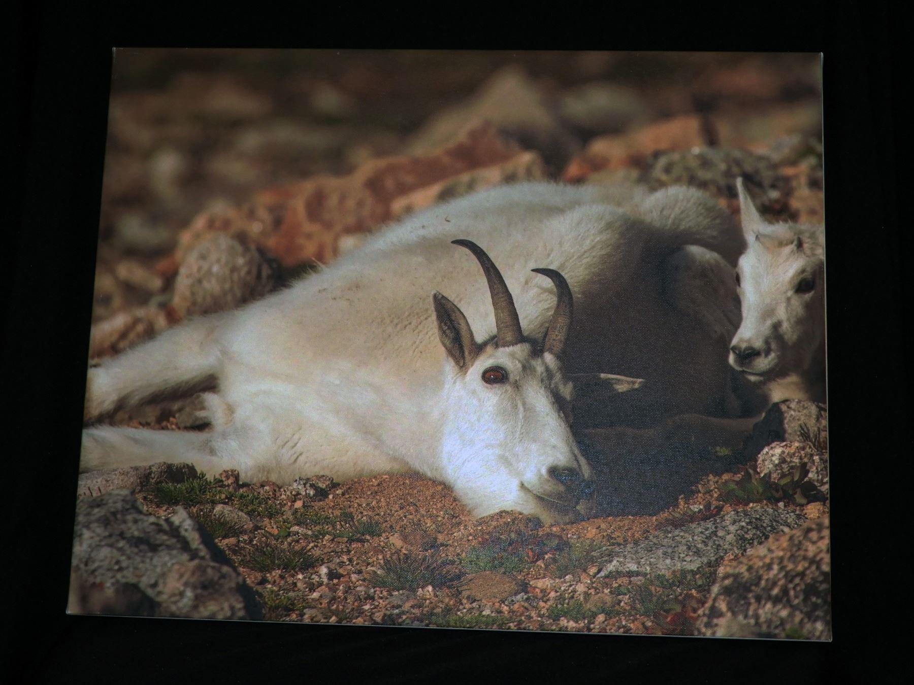Nanny Goat  art print