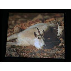 """Nanny Goat"" art print"
