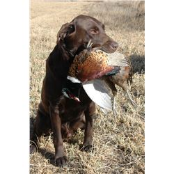 3 - DAY PHEASANT, GROUSE & PARTRIDGE HUNT FOR 4 HUNTERS (Wild birds no release) (100% FULLY DONATED)