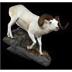 LIFE-SIZE NORTH AMERICAN SHEEP MOUNT  (100% FULLY DONATED) THE WILDLIFE GALLERY