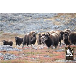 6 - DAY COMBINATION HUNT FOR TROPHY BARREN GROUND MUSKOX & A CENTRAL CANADA BARREN GROUND CARIBOU (T