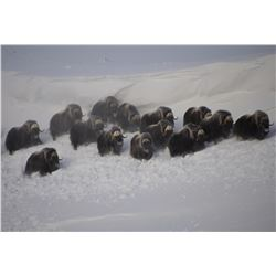 5 - DAY BARREN GROUND BULL MUSKOX HUNT FOR 1 HUNTER IN KUGLUKTUK, NUNAVUT CANADA AMERI-CANA EXPEDITI
