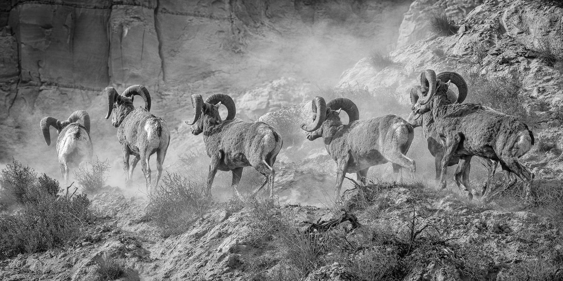 """""""THE GREAT MARCH WEST"""" CALIFORNIA BIGHORNS FROM KAMLOOPS, B.C. 18"""" X 36"""" CANVAS PRINT JEFFREY JACKSO"""