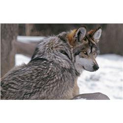 WOLF PELT CONSERVATION FUNDING