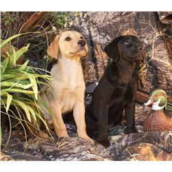 HUNTERS CREEK RETRIEVERS Championship Labrador Retriever Puppy