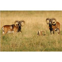 GREAT SPANISH HUNTS 3-Day Hunt for Iberian Mouflon Sheep in Spain for 2 People