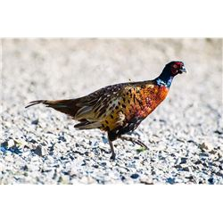 Alberta - Pheasant Hunt for One Youth and a Parent