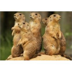 Central Montana Prairie Dog Hunt 2 to 4 Hunters – 3 Days in June / July 2020