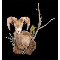 WED-14 North American Sheep Shoulder Mount