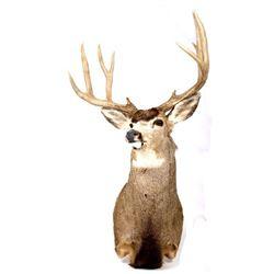 5x5 Montana Trophy White Tail Deer Mount