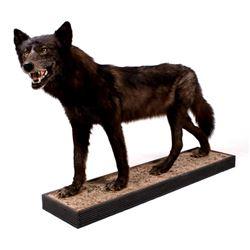 Rare Montana Black Wolf Full Body Mount