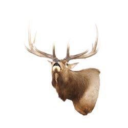 Wyoming Rocky Mountain 6x6 Bull Elk Shoulder Mount