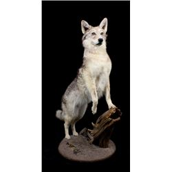 Montana Full Body Coyote Taxidermy Mount