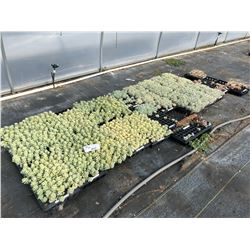 LARGE ASSORTMENT OF SUCCULENTS