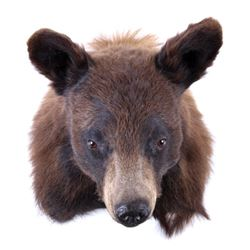 Wyoming Black Bear Wall Shoulder Mount
