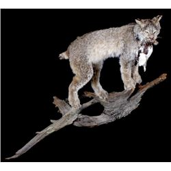 Montana Lynx Full Body Trophy Mount