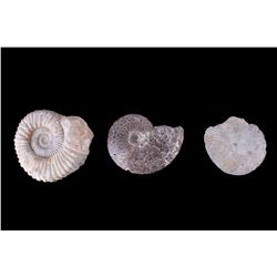 Large Prehistoric Montana Ammonite Fossils