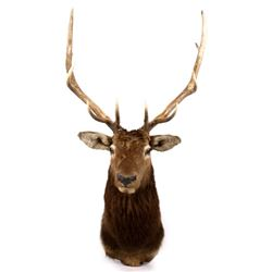 Montana Rocky Mountain 5x5 Elk Shoulder Mount