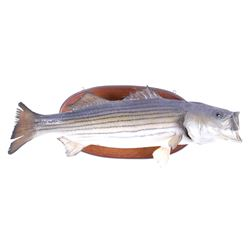 Large Striped Bass Taxidermy Wall Mount