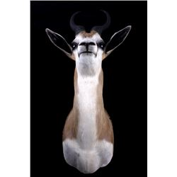 Springbok Antelope Shoulder Taxidermy Mount
