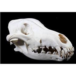 Montana Timber Wolf Taxidermy Skull