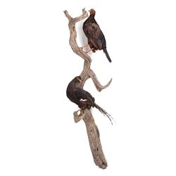 Pair of Black Pheasants Taxidermy Mount