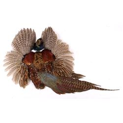 Montana Taken Pheasant Taxidermy Wall Mount