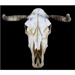Montana Taxidermy Steer Skull and Horns