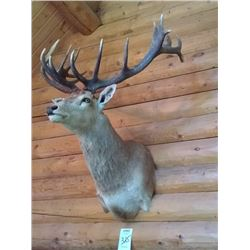 BEAUTIFUL RED STAG SHOULDER MOUNT