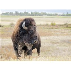 Hunt a Bison in Beautiful Wyoming!