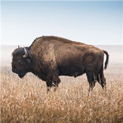 A Wild Bison Hunt in Wyoming!