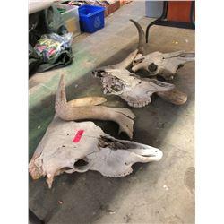 3 Genuine Cow Skulls - As Is