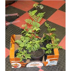 BOX WITH 4 MOUNTAIN ASH, 1 DOGWOOD, 1 BIRCH AND