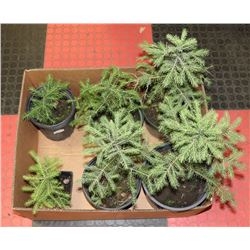 """LOT OF 6 SPRUCE TREES         8-15"""" HIGH"""