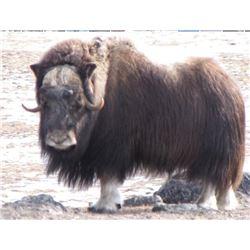 Greenland Winter Musx Ox Hunt