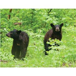 MONTANA BLACK BEAR AND MIRRIAM'S TURKEY HUNT COMBO