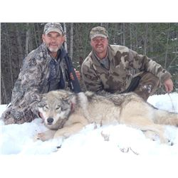 5-Day Wolf Hunt in British Columbia for 1 Hunter
