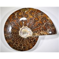 240 MILLION YEARS MARINE AMMONITE