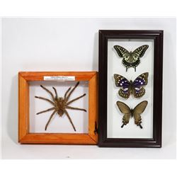 MOUNTED BUTTERFLIES AND TARANTULA DISPLAYS.