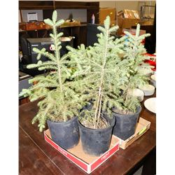 """LOT OF 5 SPRUCE TREES         18"""" HIGH"""