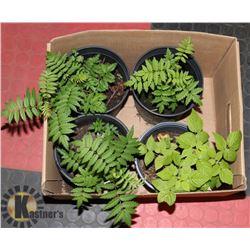 BOX WITH 3 -    1/2 GALLON MOUNTAIN ASH TREES PLUS