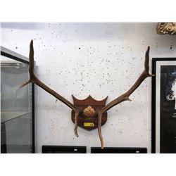 """24"""" Wide Rack of Elk Antlers"""