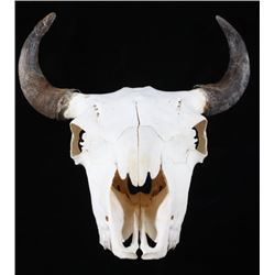 Great American Montana Trophy Buffalo Skull