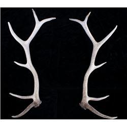 Pair of Montana Trophy Elk Antlers