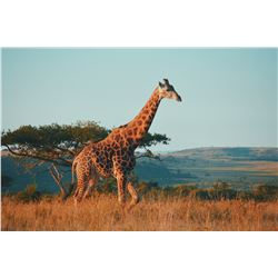 South Africa Hunt with Giraffe, Elephant and Sable Available For 7 days/3 Hunters  Plus 3 Trophies