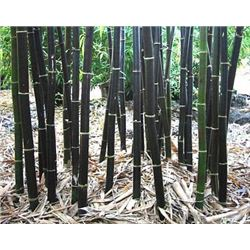 100+ Fresh Giant Bamboo  Seeds