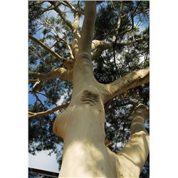 250+ Lemon Eucalyptus Tree Seed