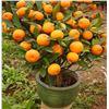 10+ Mandarin Orange Seeds / Indoor or Outdoor