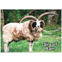 DONATION LOT - PAIR OF 4-HORN JACOB SHEEP