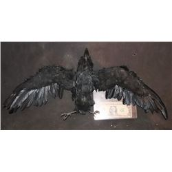 THE CROW STATIC BIRD ARMATURED PUPPET?